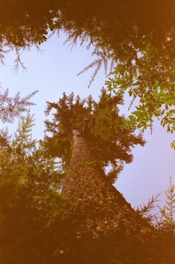 35mm Canon Sure Shot Compact • Kodak Gold 400 • Quinnault Rain Forest, WA